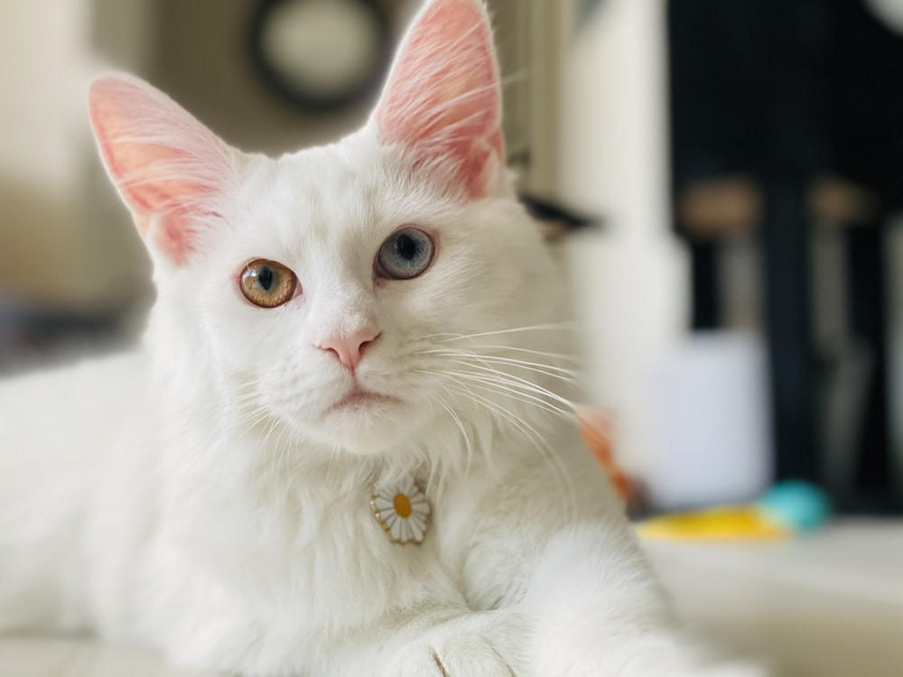 white cat with brown eyes
