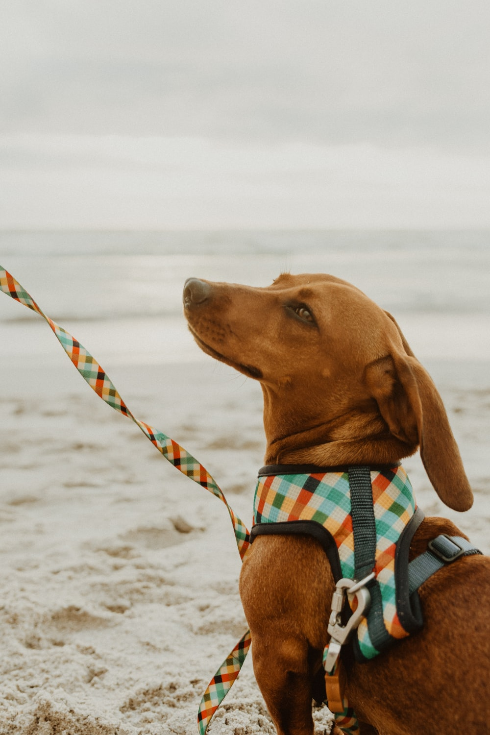 brown short coated dog wearing blue and white plaid scarf