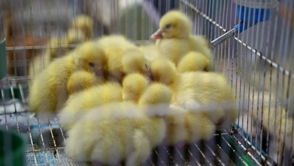 yellow chicks on black cage