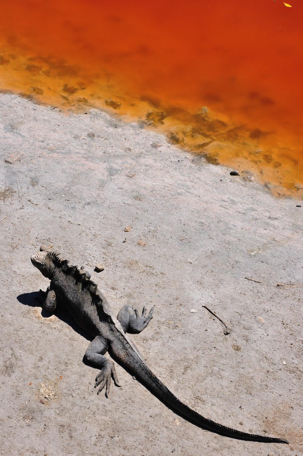 gray and black iguana on brown sand