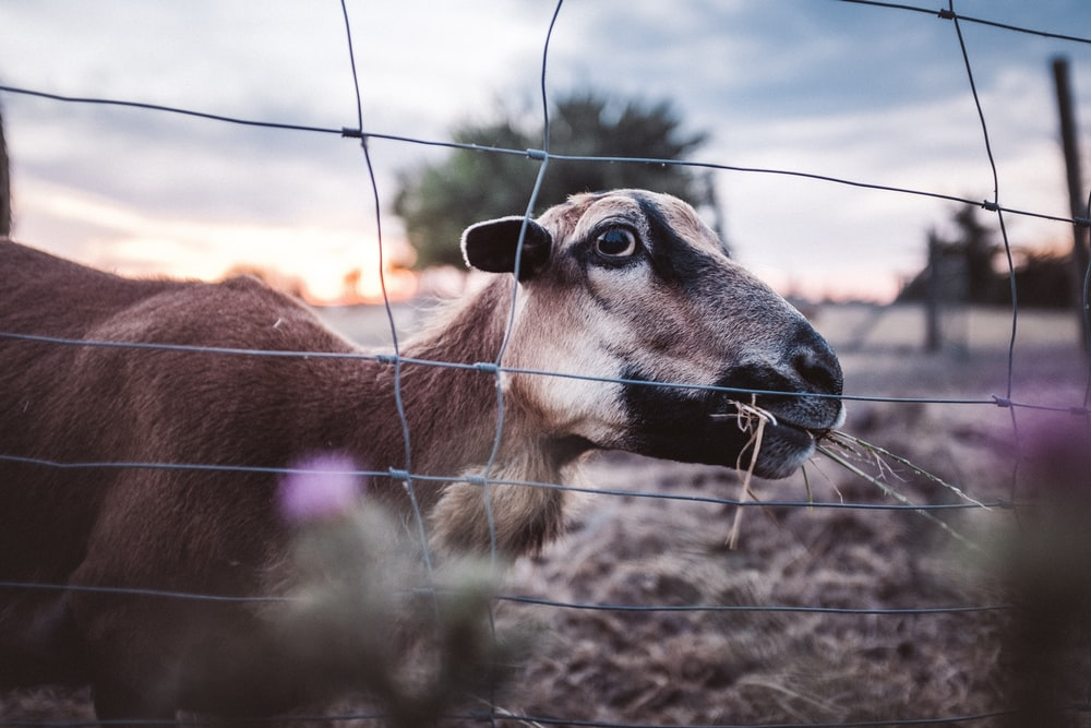 brown and white goat on brown field during daytime