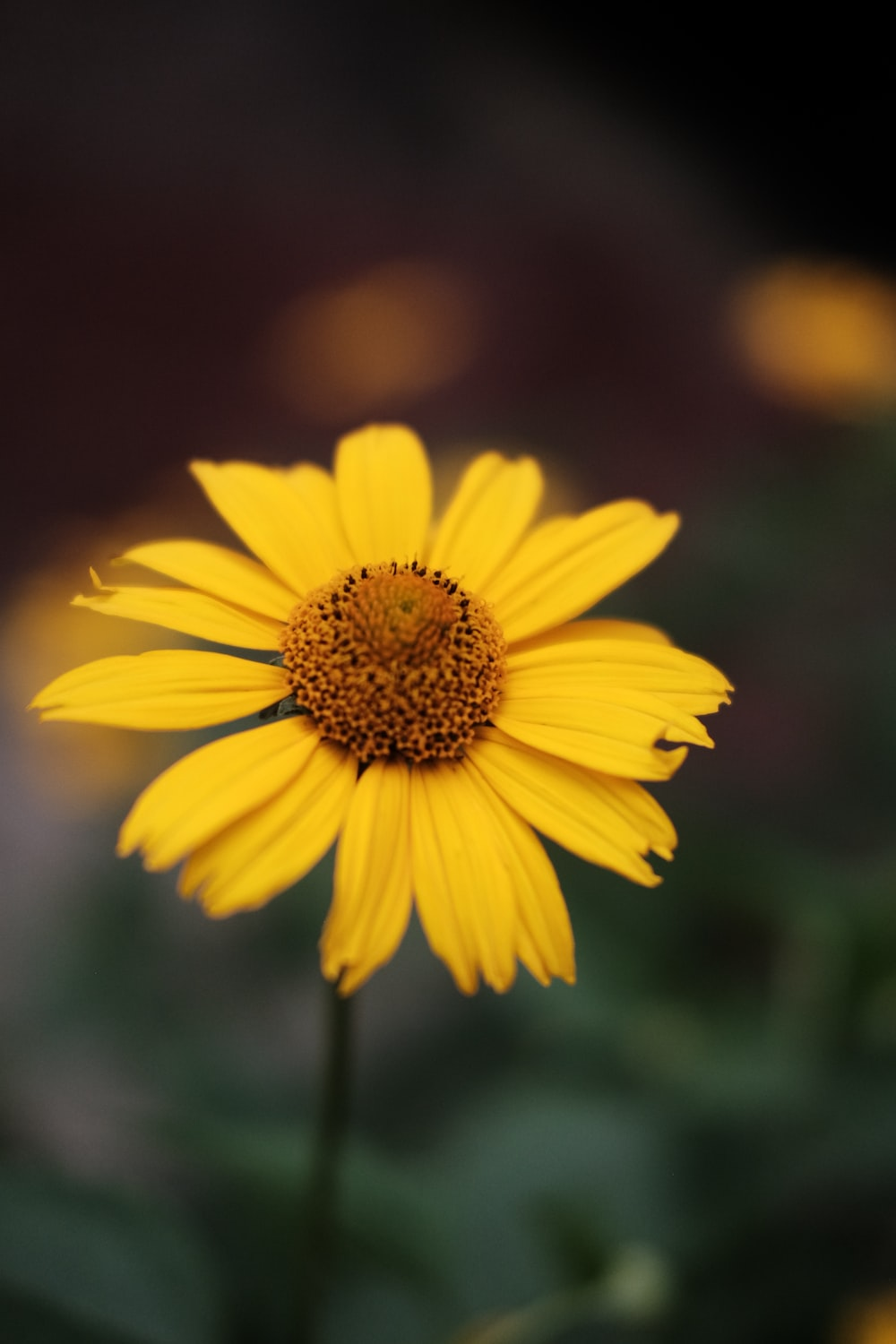 yellow daisy in close up photography