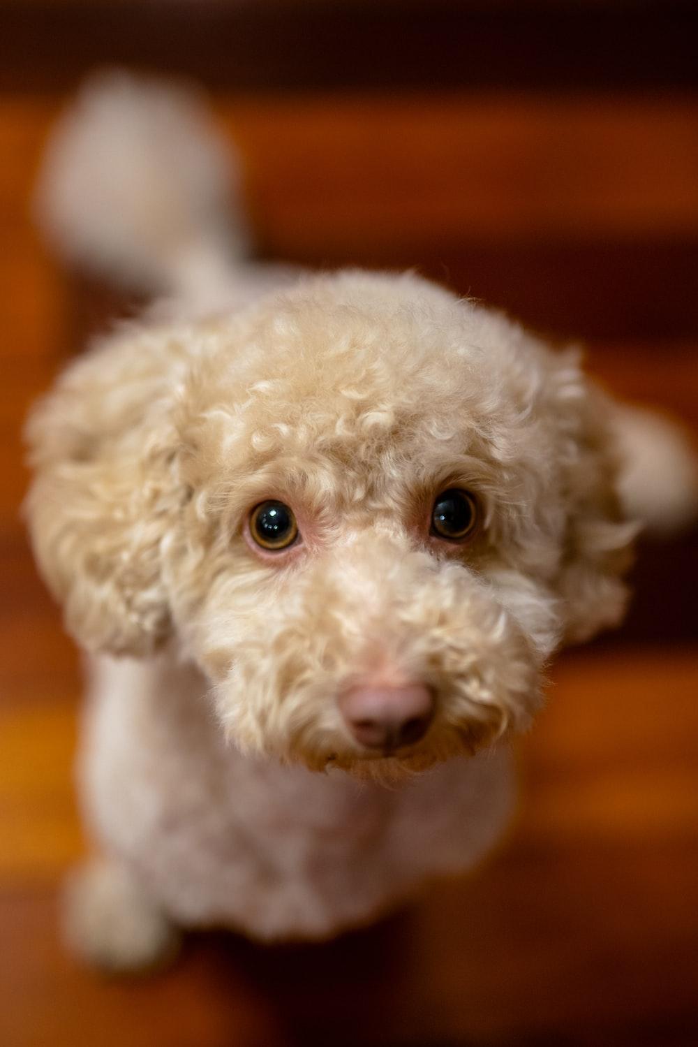 white poodle on orange textile