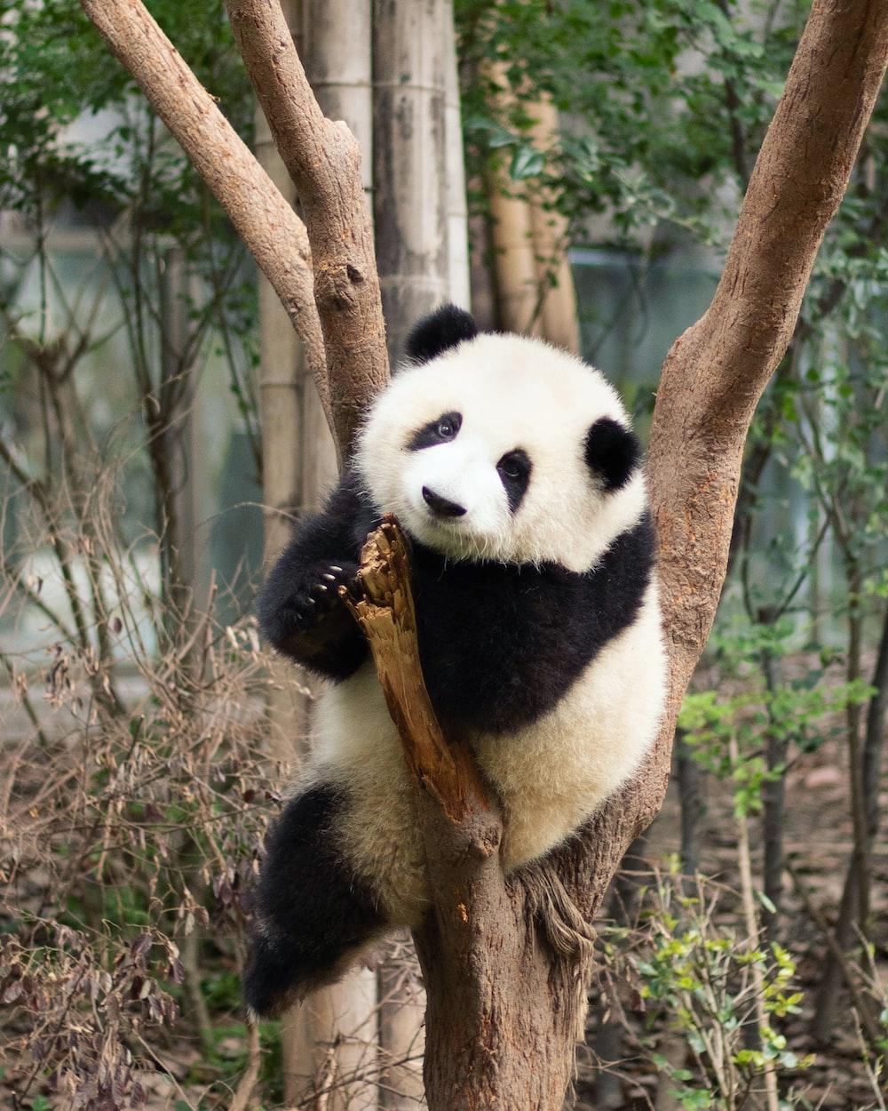 panda bear on brown tree branch during daytime