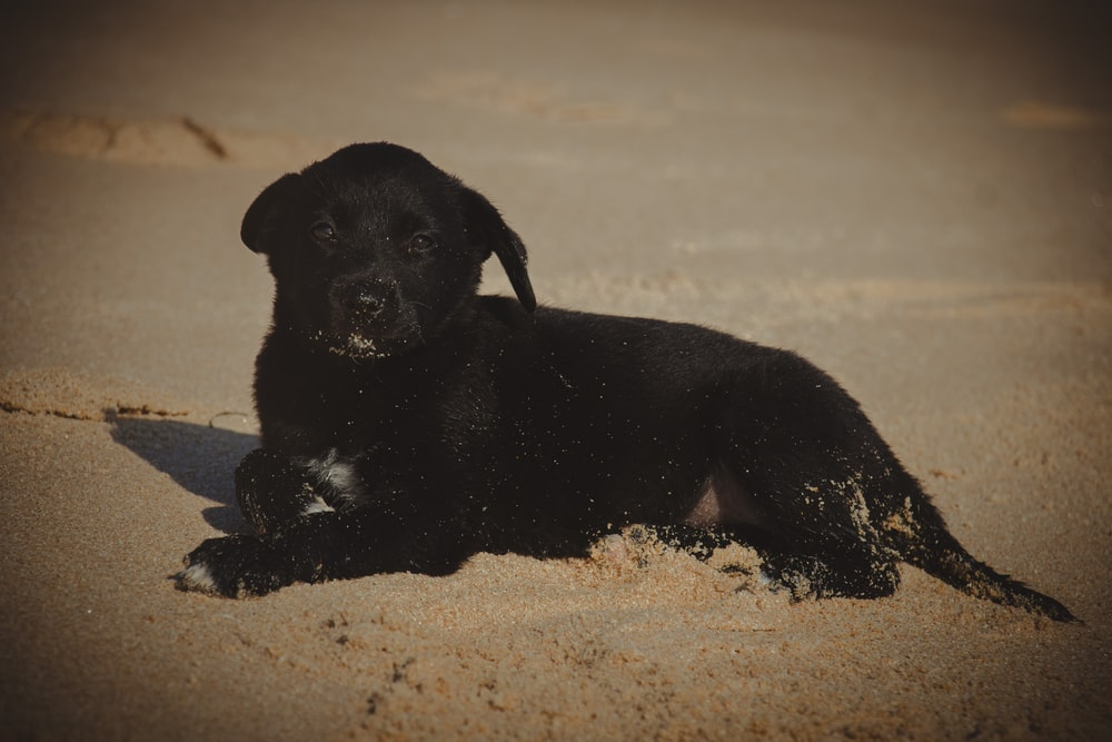 black and white short coated puppy on brown sand during daytime