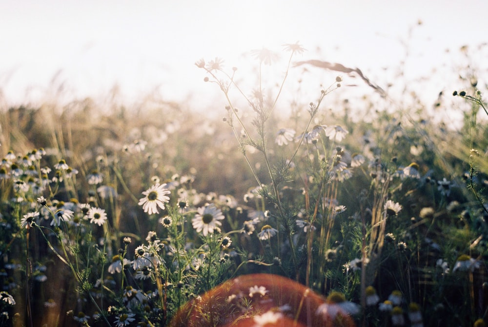 white flowers and green grass during daytime