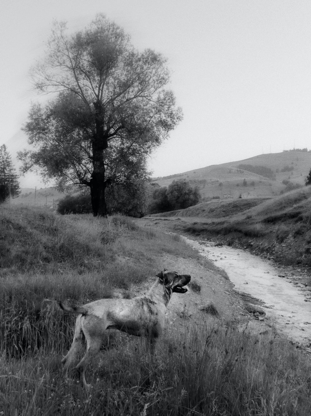 grayscale photo of dog on grass field