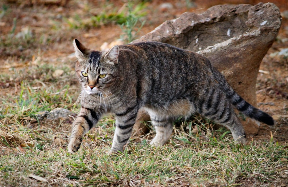 brown tabby cat walking on green grass during daytime