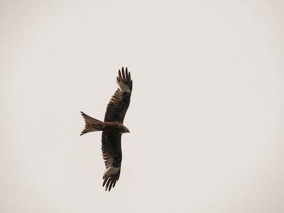 brown bird flying in the sky