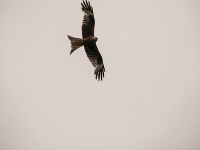 brown and black bird flying