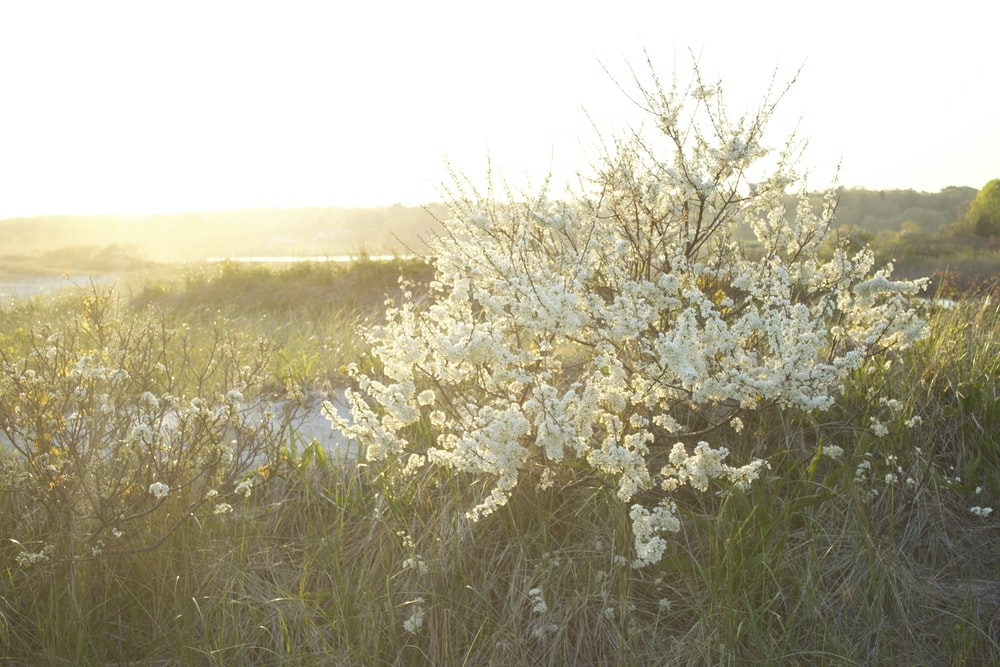 white cherry blossom flowers on green grass field during daytime