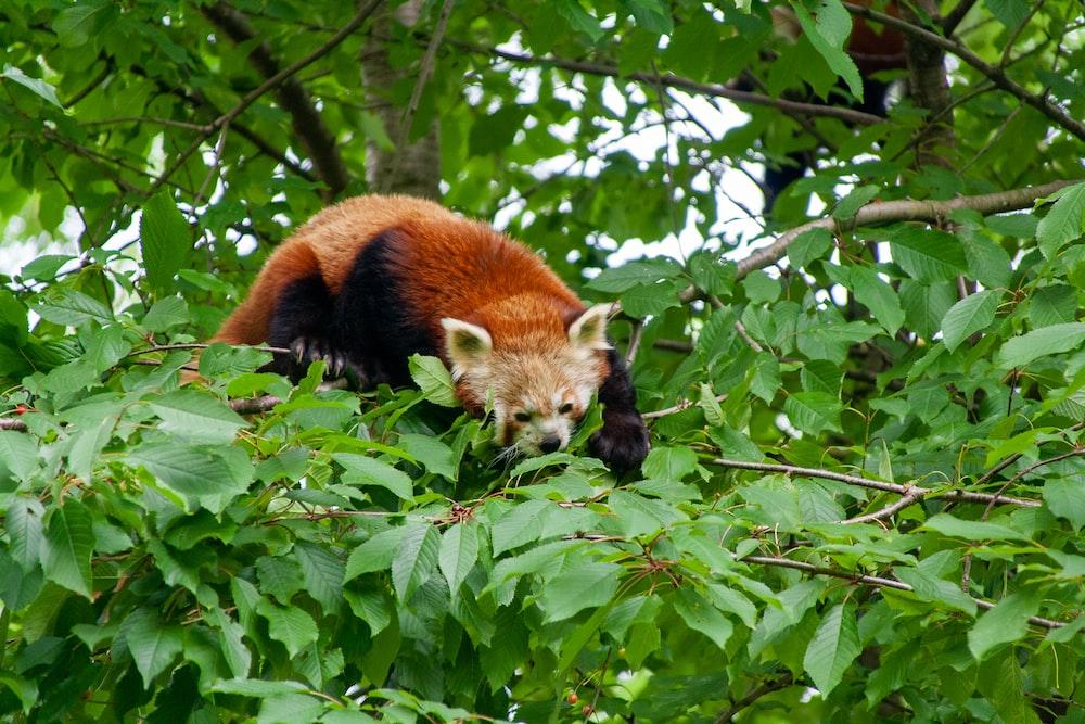 red panda on green leaves during daytime