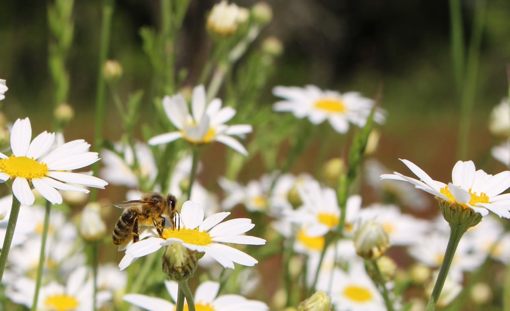 honeybee perched on white daisy flower in close up photography during daytime