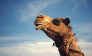 brown camel under blue sky during daytime