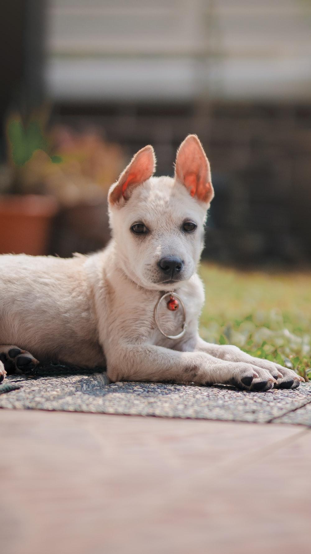 white short coated puppy lying on ground