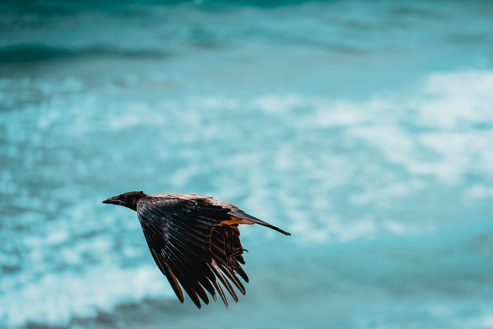black bird flying over the sea during daytime