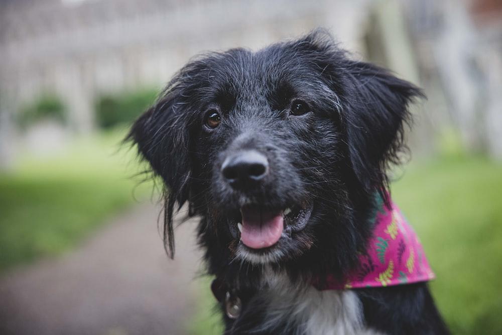 black and white short coat medium dog