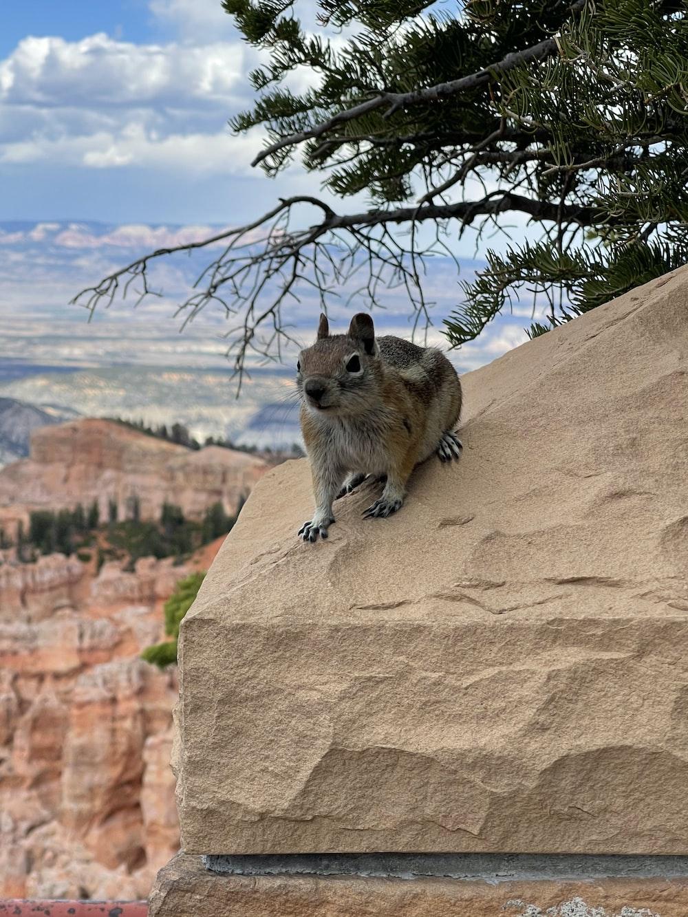 brown squirrel on brown rock during daytime