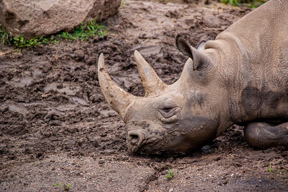 brown rhinoceros lying on ground during daytime