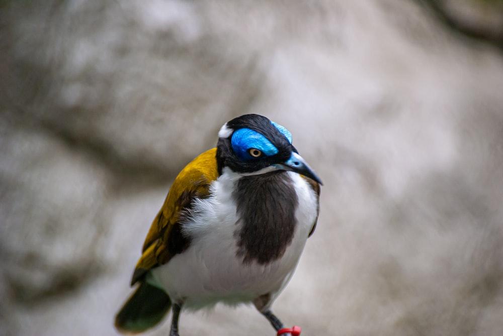 blue yellow and white bird
