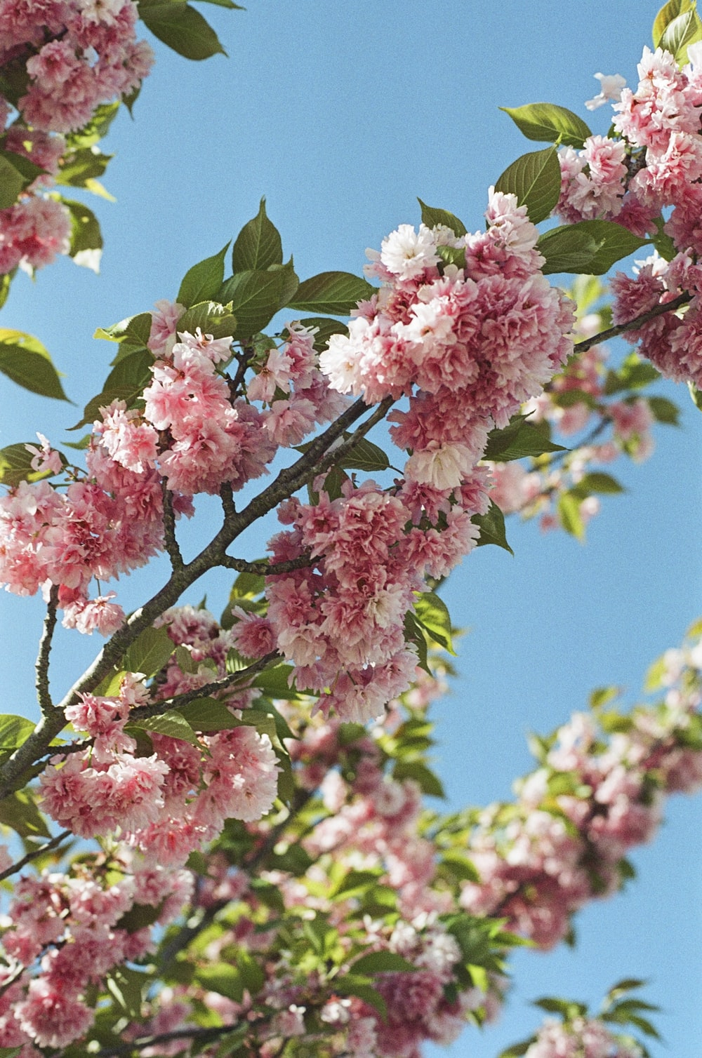 pink and white flowers on tree branch