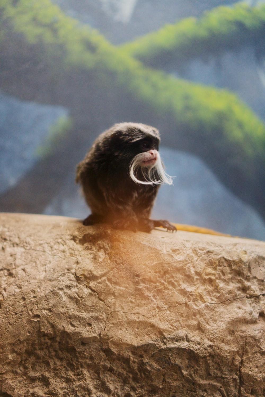 black and brown monkey on brown rock