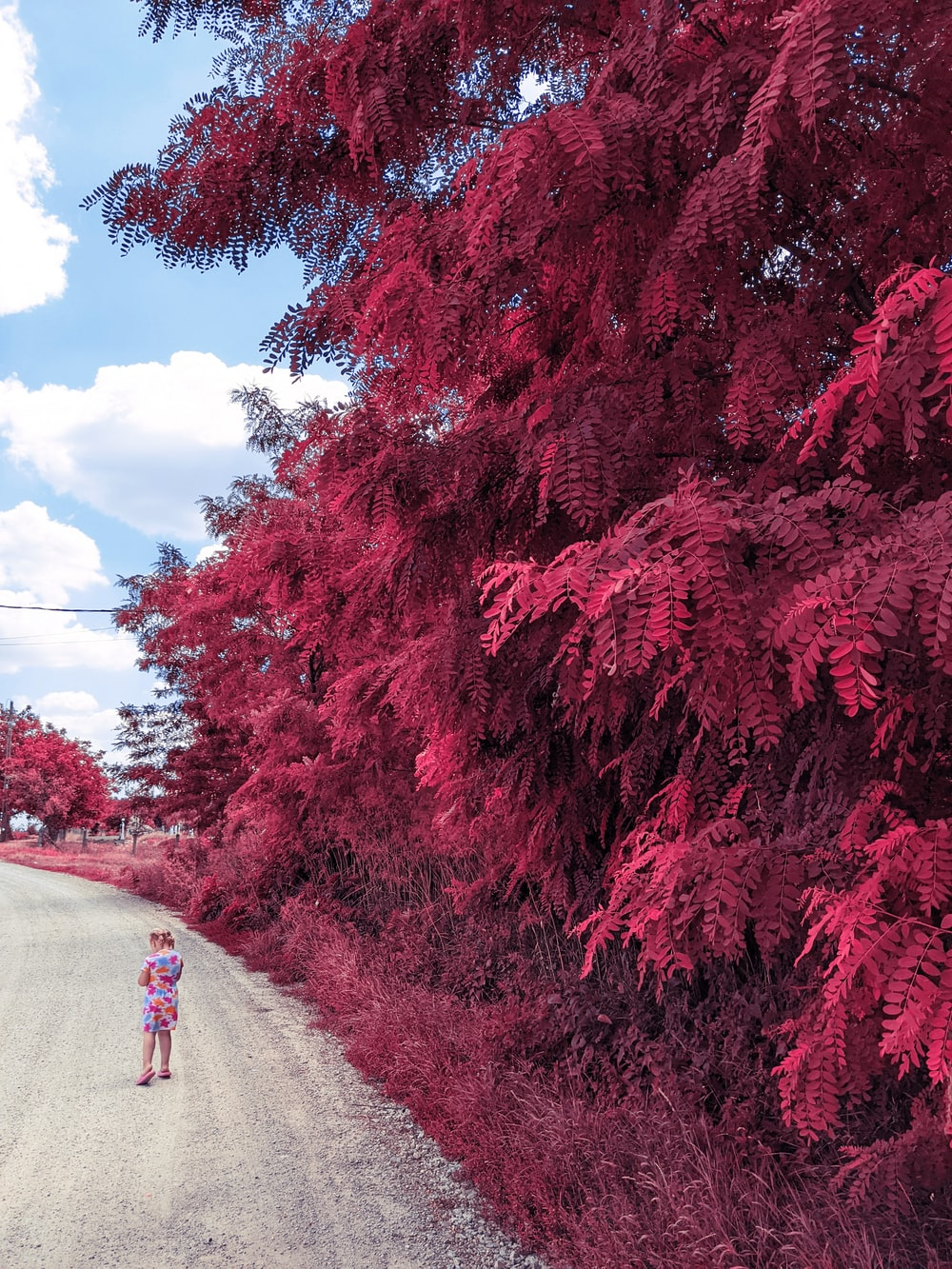red leaf trees beside road during daytime