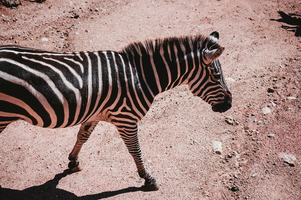 zebra walking on brown sand during daytime
