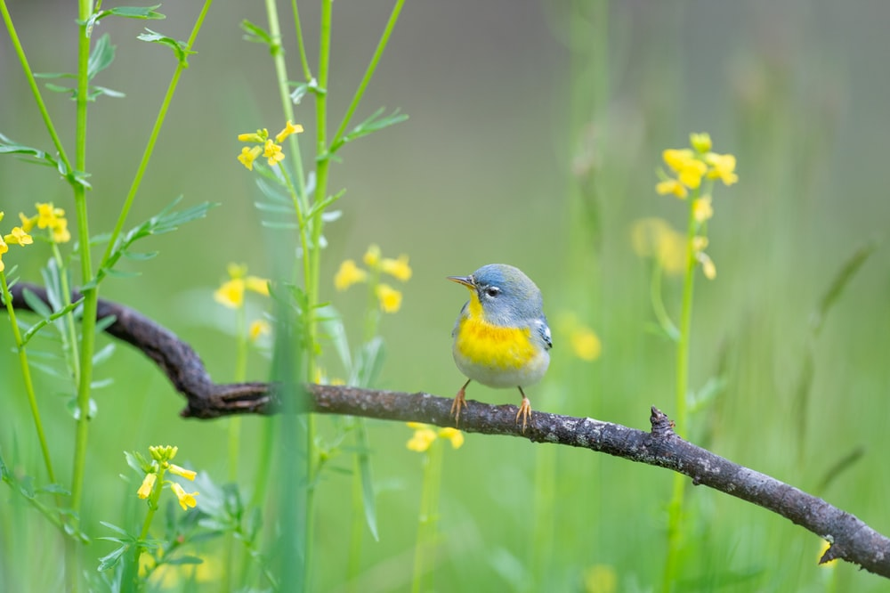 yellow and blue bird on tree branch