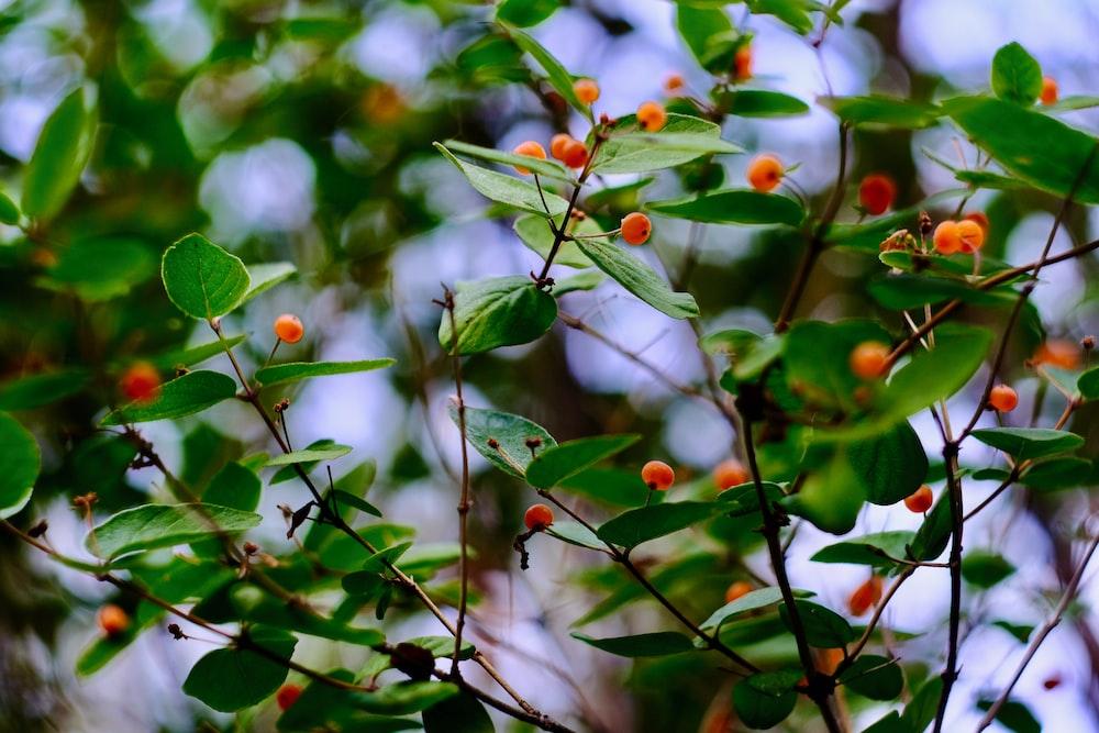 red round fruits in tilt shift lens