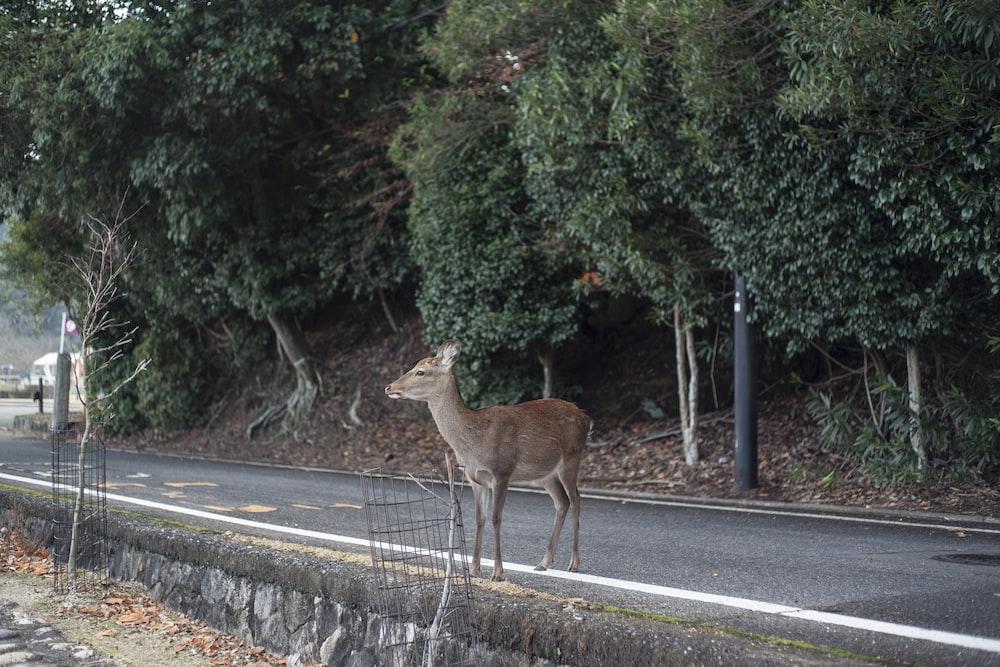 brown deer on gray asphalt road during daytime