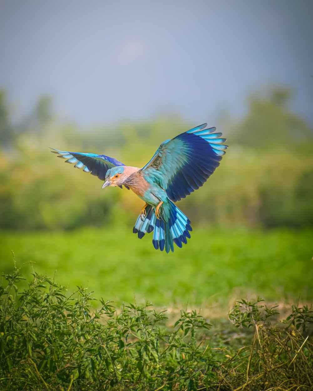 blue and white bird flying on green grass during daytime
