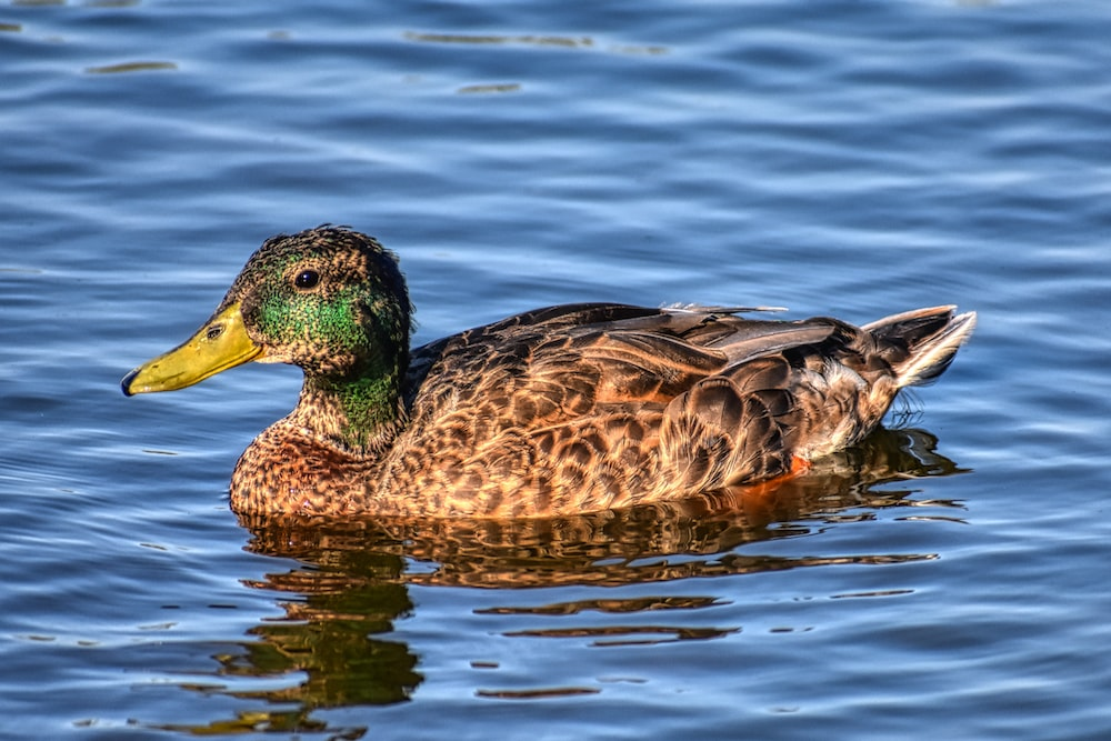 brown and green duck on water