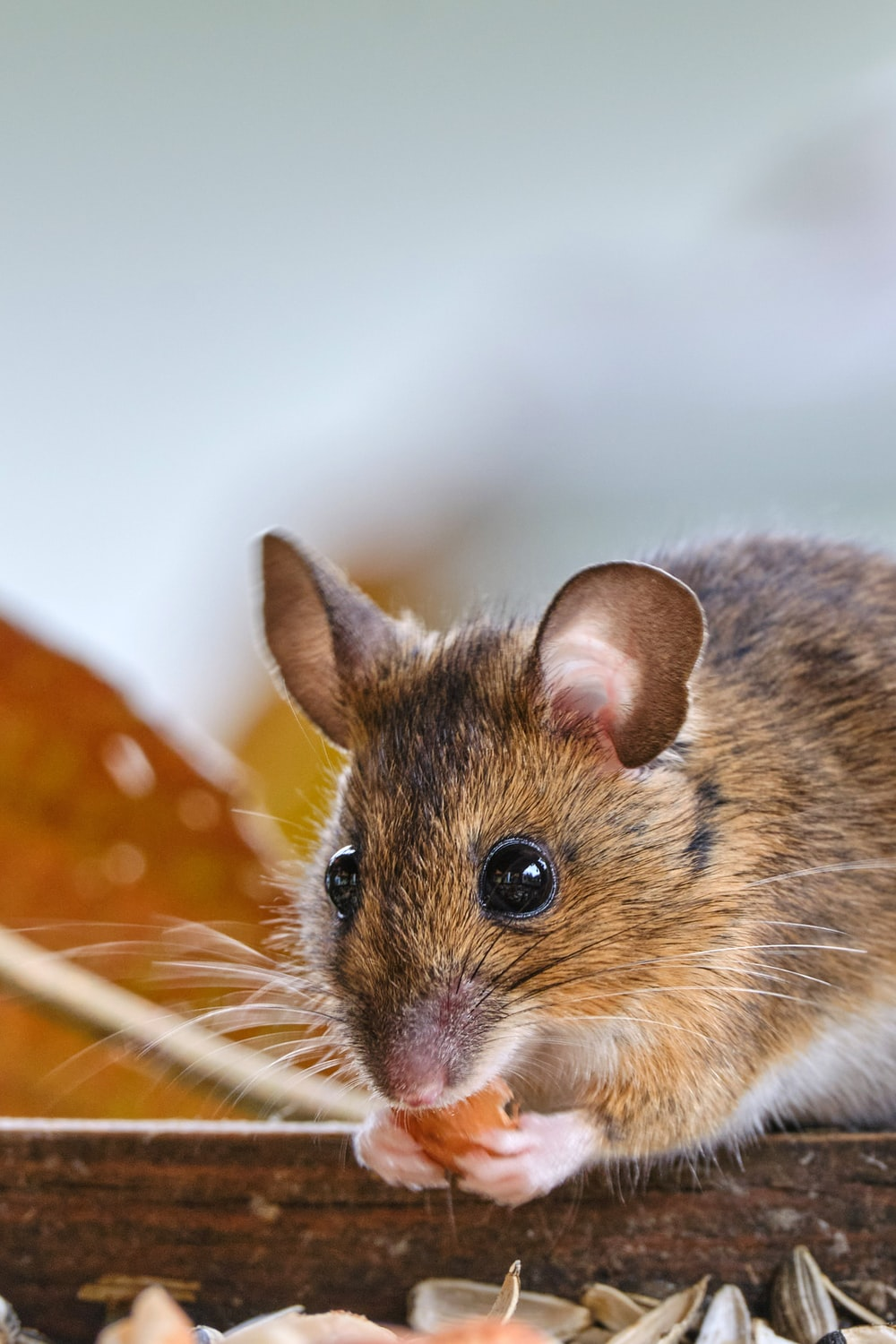 brown and white rodent on orange and white polka dot textile