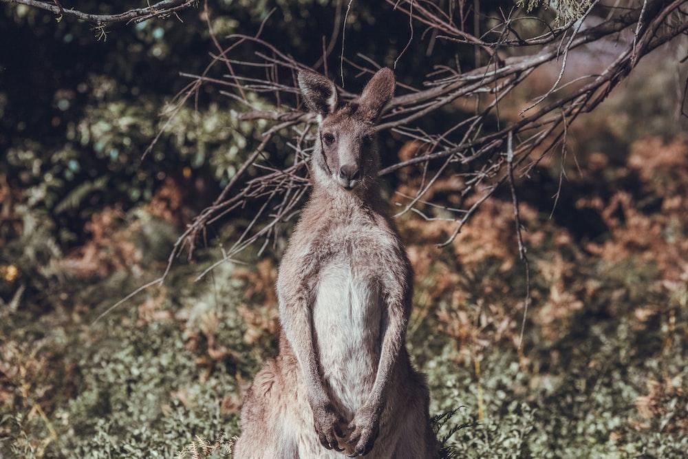 brown kangaroo on brown grass during daytime