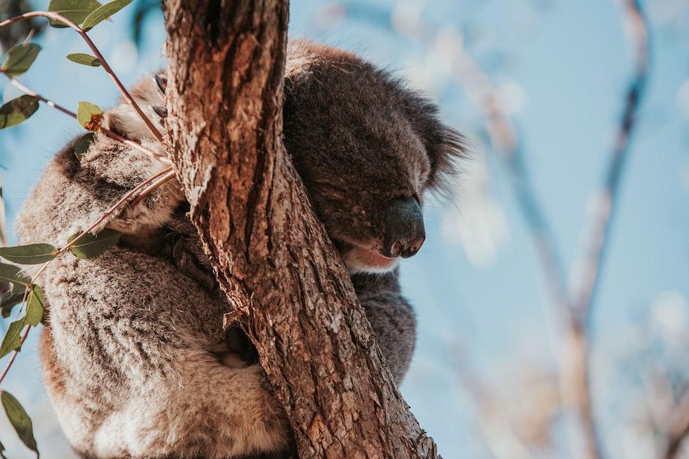 koala bear on brown tree during daytime