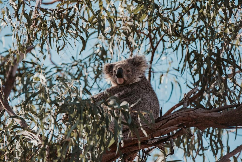 koala on tree during daytime