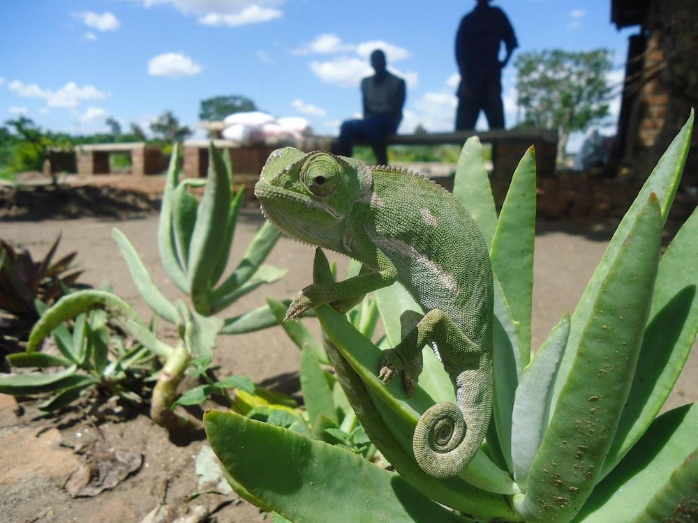 green chameleon on green plant during daytime