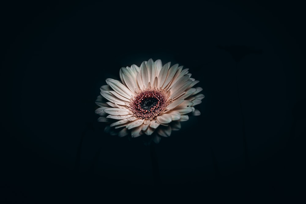 white and pink flower in black background