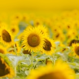sunflower field during day time
