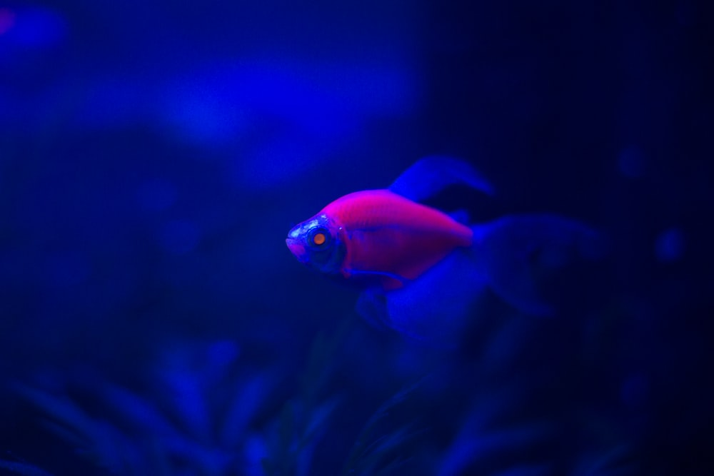 red fish in blue water