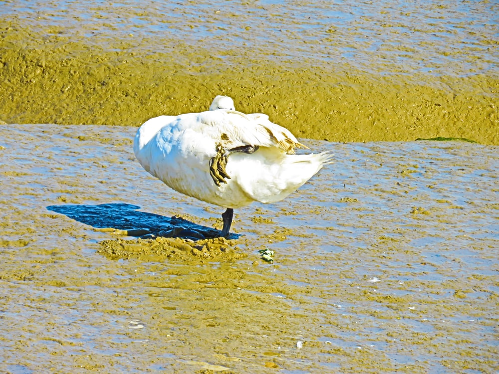 white duck on brown sand during daytime
