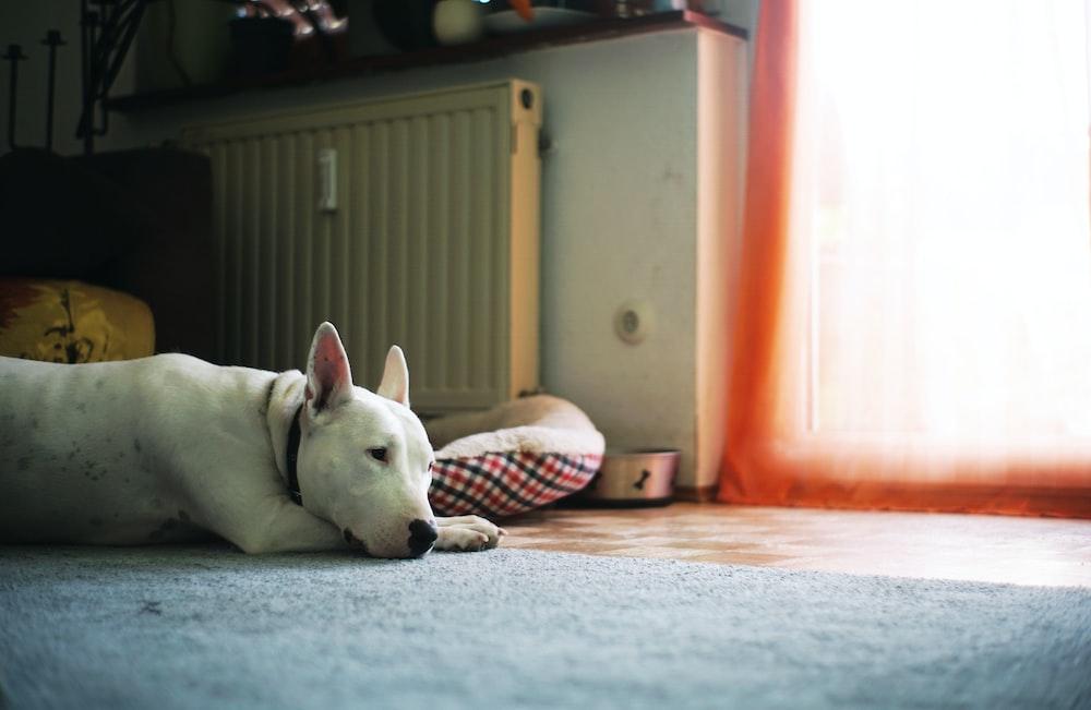 white short coat medium dog lying on bed