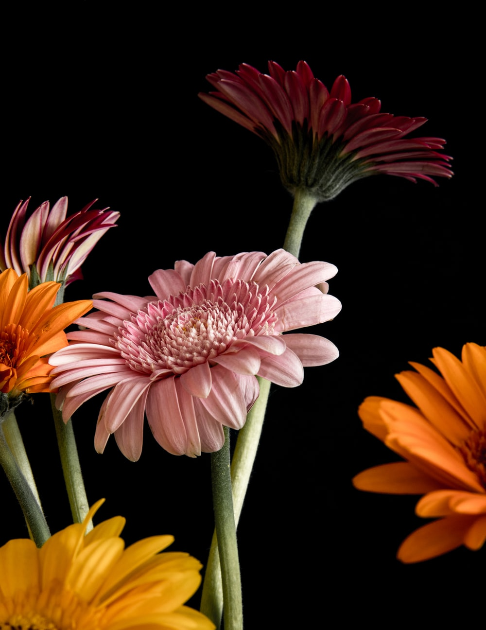 pink and yellow flower in black background