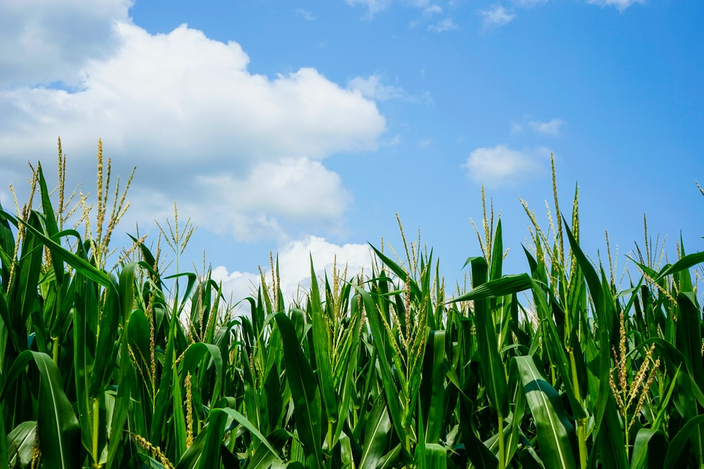 green corn field under white clouds and blue sky during daytime