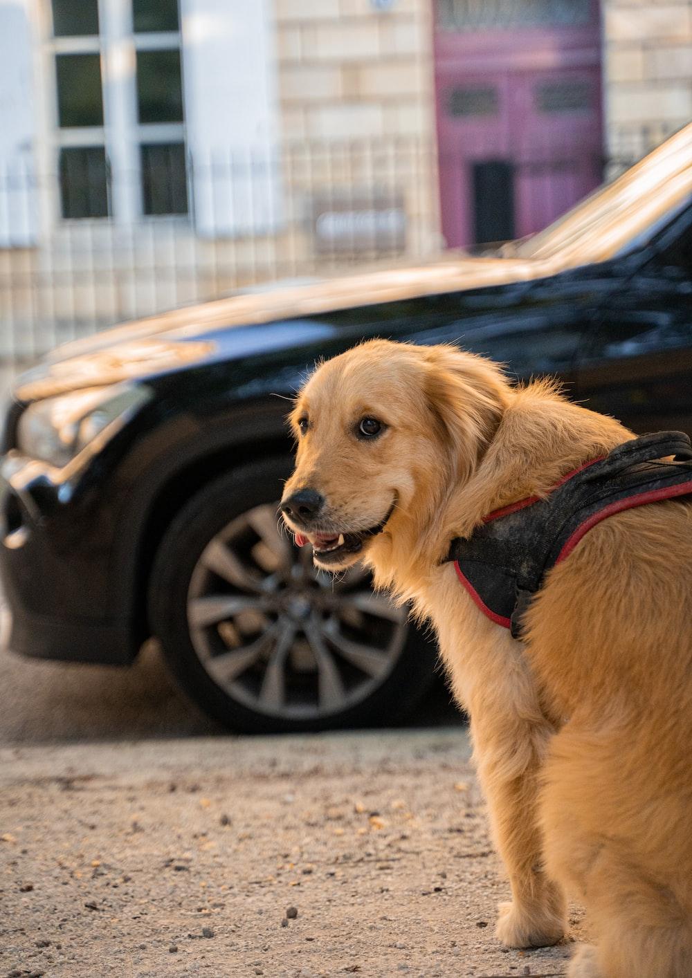 golden retriever with black leash