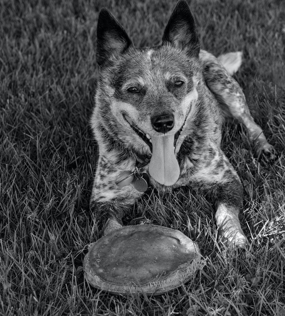 grayscale photo of short coated dog biting a ball