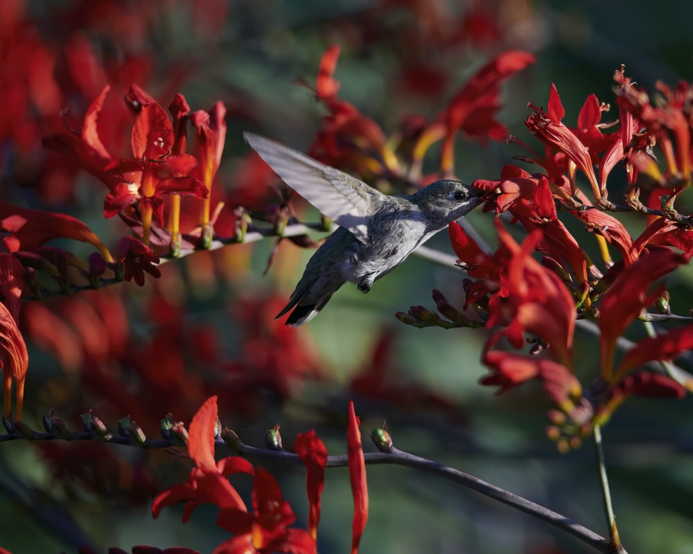 brown and black humming bird flying over red flowers