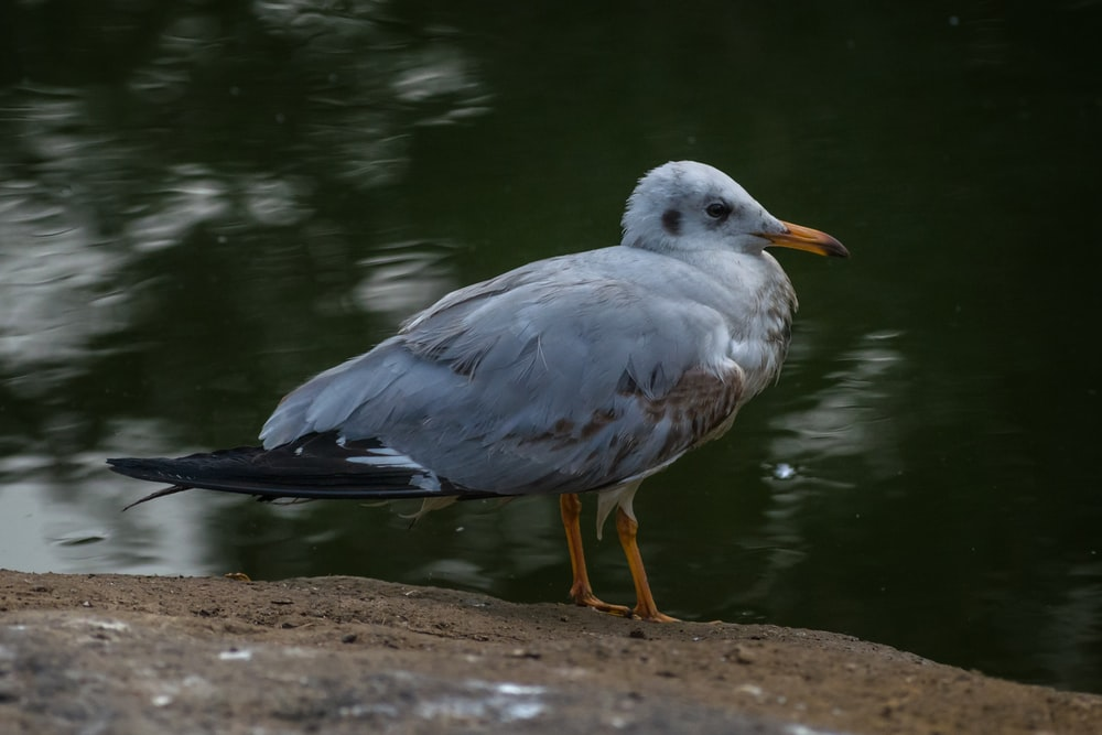 white and gray bird standing on brown soil near body of water during daytime
