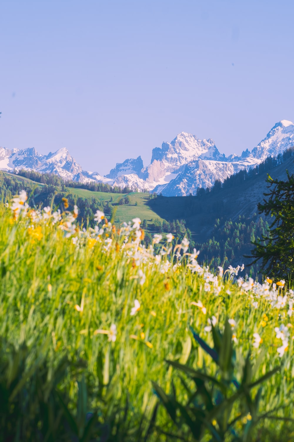 white flowers near green grass field and snow covered mountains during daytime
